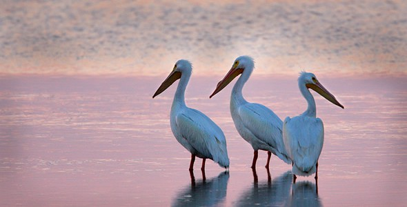 Pelicans on St. George Island