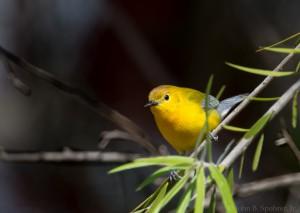 Prothonotary Warbler (c) John B. Spohrer, Jr.