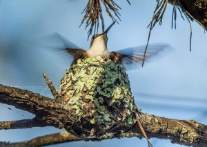 Ruby-throated hummingbird, female. (c) John B. Spohrer, Jr.