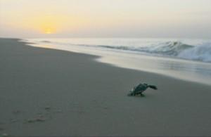 Sunrise and baby turtle on SGI