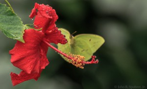 Hibiscus with butterfly.  Photo by John B. Spohrer, Jr.